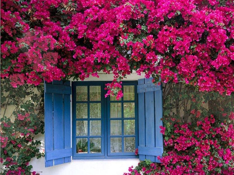 Trồng Hoa Giấy Bao Quanh Nhà