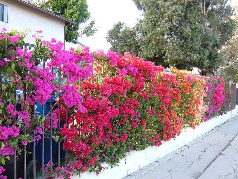Trồng Hoa Giấy Quanh Hàng Rào